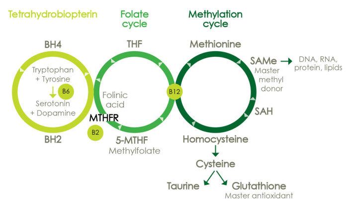 MTHFR Cycle